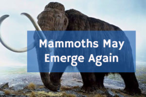 mammoths may emerge